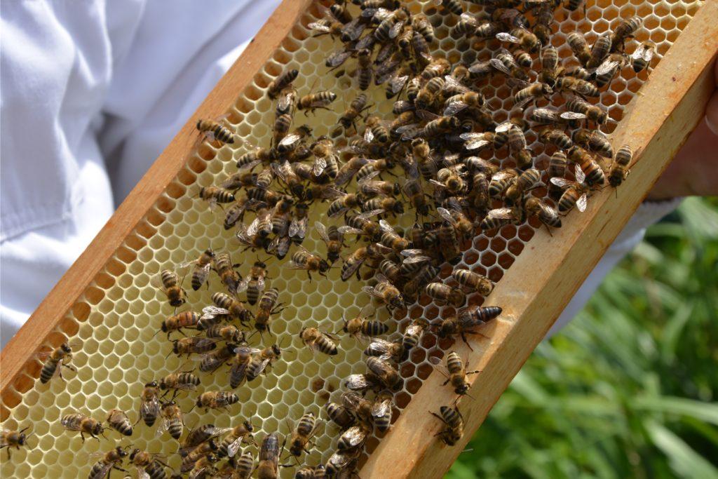 Imker Petros Igityan präsentiert seine Bienen: Der dunkle Honig ist in einigen Waben gut sichtbar, auch die Königin des Volkes ist im Bild (größere Biene mit dunklerem Hinterteil, unten rechts auf dem Übergang zwischen Holzrahmen und Waben).