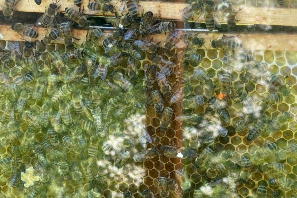 In einem Schaukasten tummelt sich ein kleineres Bienenvolk, das Kai Lübke mit Zuckerwasser ernährt. Für die Völker in den Beuten gibt es im Winter Zuckerblöcke.
