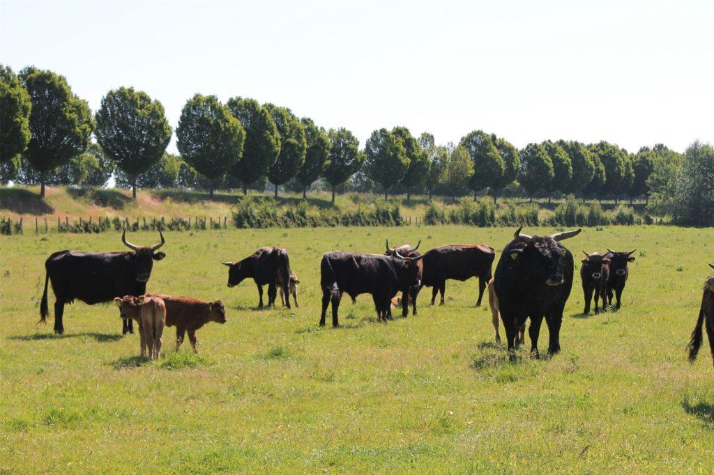 In Schwieringhausen begegnen die Radler den Heckrindern − einer speziellen Rinderrasse, die zu einer umweltfreundlichen Beweidung der Grünflächen beiträgt.