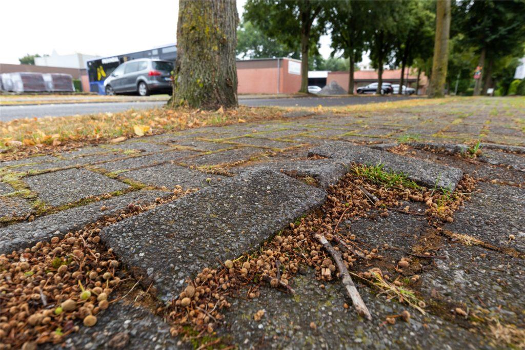 Die Wurzeln der Linden verursachen Schäden am Gehweg. Das soll behoben werden.